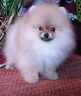 Craigslist Inland Empire Pets For Sale >> Puppies For Sale In Southern California